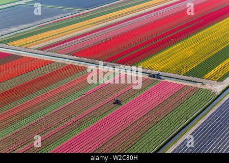 Tractor in tulip fields, North Holland, Netherlands - Stock Photo