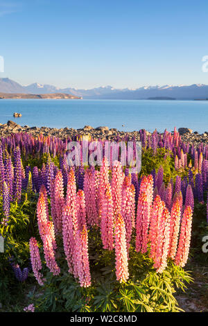 Wild lupins, Lake Tekapo, Mackenzie Country, Canterbury, South Island, New Zealand - Stock Photo
