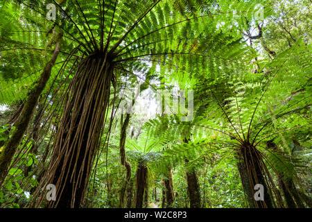 Mamaku ferms, Karamea, West Coast, South Island, New Zealand - Stock Photo