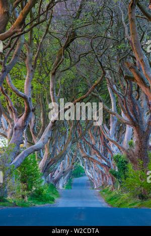 UK, Northern Ireland, County Antrim, Ballymoney, The Dark Hedges, tree lined road, dawn - Stock Photo
