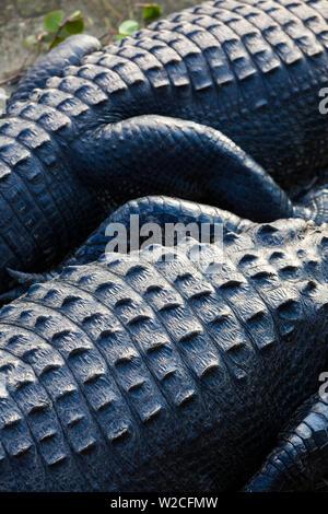 USA, Florida, Everglades National Park, Big Cypress, alligator, detail, alligator mississippiensis - Stock Photo