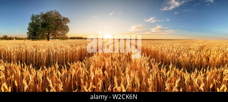 Wheat flied panorama with tree at sunset, rural countryside - Agriculture - Stock Photo