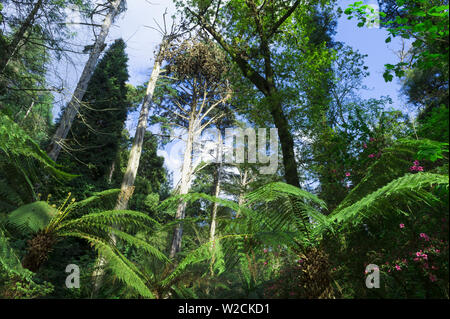 Ferns, Bussaco national forest, Mealhada, Beira Littoral, Portugal - Stock Photo
