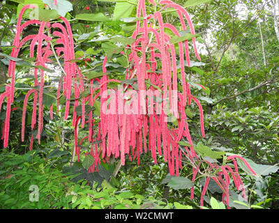 Amaranth (Amaranthus caudatus) tropical plant in Kerala Kochi - Stock Photo