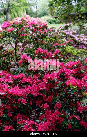 Dark pink Evergreen Azalea Hinodegiri flowers. Also known as Rhododendron 'Hinode-giri'. Verical. - Stock Photo