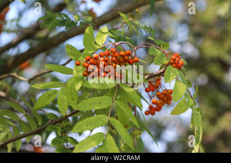 close up of wild berries hanging on a tree from Sorbus aucuparia, commonly called rowan and mountain ash - Stock Photo