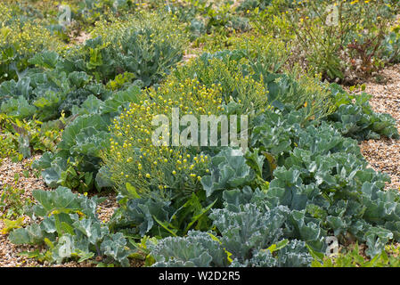 Sea kale, Crambe maritima, halophtic cabbagee-like plant seeding on Chesil Beach, Dorset, June - Stock Photo