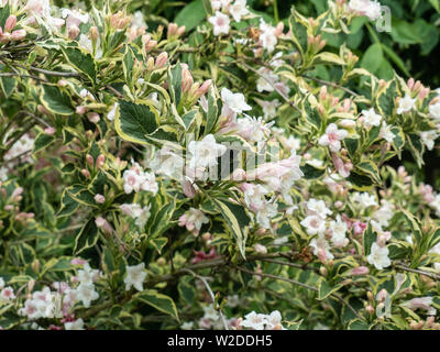 A bush of Weigela florida variegata showing the very pale pink flowers and variegated foliage - Stock Photo