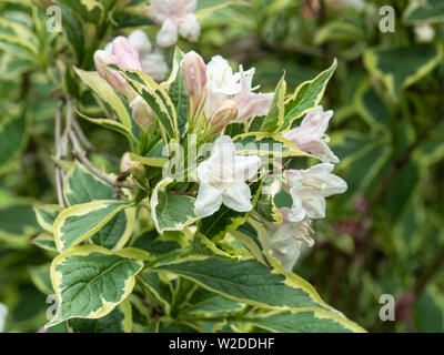 A close up of a branch of Weigela florida variegata showing the very pale pink flowers and variegated foliage - Stock Photo