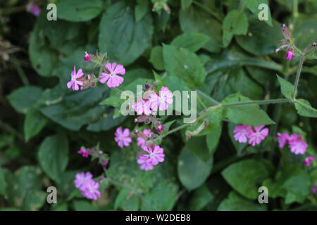 close up of red campion or red catchfly (Silene dioica) flower blooming in spring - Stock Photo