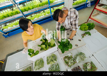 Husband and wife packing lettuce after planting it in greenhouse