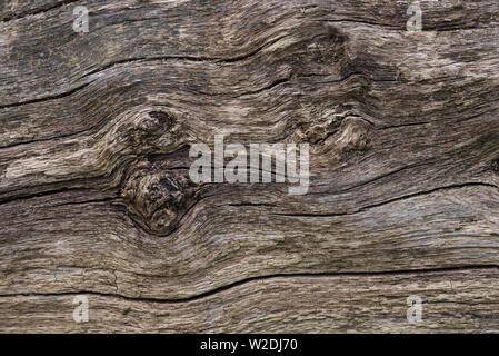 A close up of an old fallen tree trunk, now grey / gray and cracked. - Stock Photo