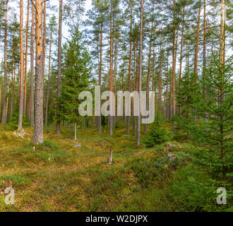 Panorama of coniferous autumn forest with yellow leaves on small trees. - Stock Photo