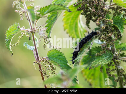 Almost full grown caterpillar of the Peacock butterfly (Vanessa io), feeding on Stinging Nettle - Stock Photo