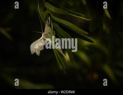 White Plume Moth (Pterophorus pentadactyla) - Stock Photo