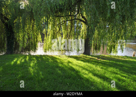 Evening sunlight shining through weeping willow trees casting shadows on the grass - Stock Photo