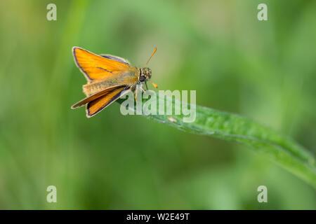 Skipper large (Ochlodes venatus) dark brown and orange brown upperwingswith  dark bordering. has large eys, wings set back at rest resembling a moth. - Stock Photo