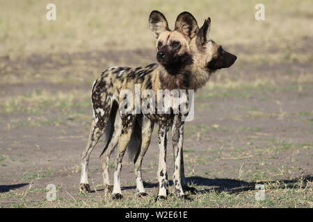 Painted Dogs, Hwange National Park, Zimbabwe - Stock Photo