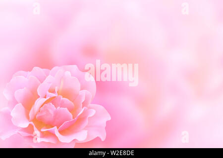 Blurred background with rose of pink color. Copy space for your text. Mock up template. Can be used for wallpaper, wedding card, web page banner - Stock Photo