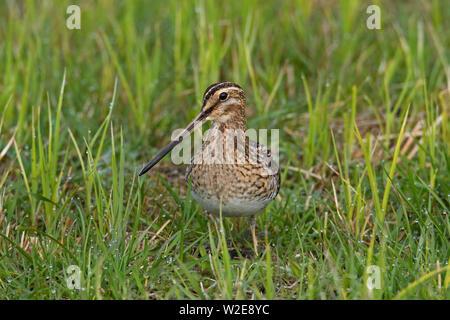 Common snipe (Gallinago gallinago) foraging in grassland - Stock Photo