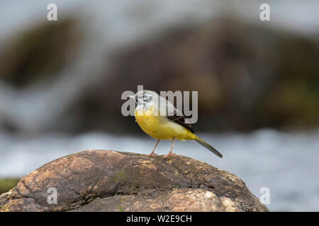Grey wagtail (Motacilla cinerea) male perched on rock in stream in the Scottish Highlands, Scotland, UK - Stock Photo