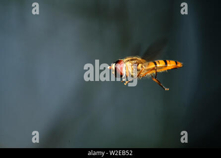 Ripe, East Sussex, UK. 8th July, 2019. Hoverflys in flight in the Sussex countryside as temperatures begin to rise again. Credit: Peter Cripps/Alamy Live News - Stock Photo