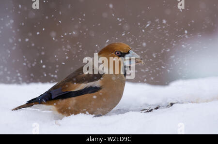 Male hawfinch sits in snow in winter and searches fo some food - Stock Photo