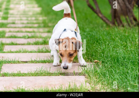 Naughty dog pulling leash sniffing something to eat from ground - Stock Photo