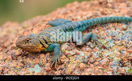 Eastern Collared Lizard, also known as a Mountain Boomer (Crotaphytus collaris) in Oklahoma's Wichita Mountains - Stock Photo