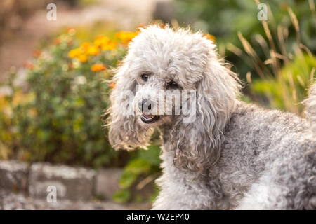 A miniature gray poodle toy standing in the garden on a sunny summers day. - Stock Photo