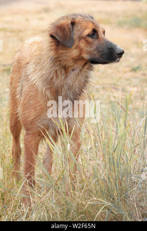 Portrait of a lonely homeless big dog stands in faded tall grass and looks away. - Stock Photo
