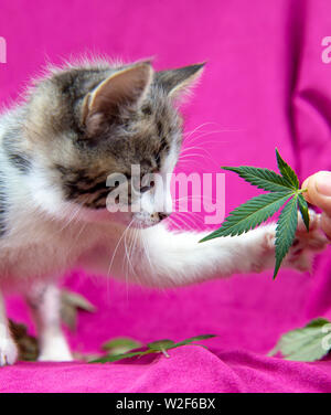 Small cat smelling a cannabis leaf on pink background, marijuana for pets concept - Stock Photo