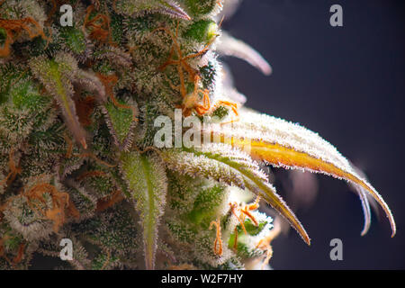 Macro detail of Cannabis flower (sour diesel strain) isolated over black background, medical marijuana concept - Stock Photo