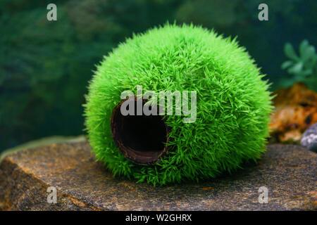 An empty round green ball is a house for grass fish in a transparent aquarium. Beautiful aquarium design - Stock Photo