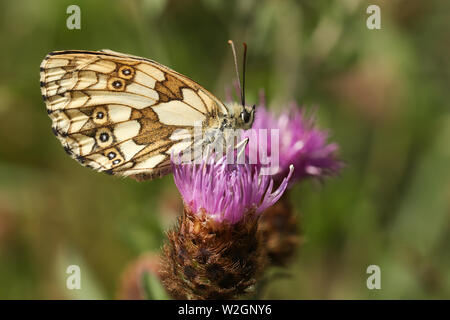 A pretty female Marbled White Butterfly, Melanargia galathea, perching on a  Knapweed flower in a meadow in the UK. - Stock Photo