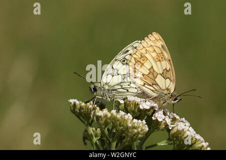 A mating pair of pretty Marbled White Butterfly, Melanargia galathea, perching on a  Yarrow flower in a field in the UK. - Stock Photo