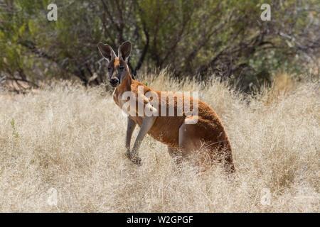 Male Red Kangaroo Macropus rufus - Stock Photo