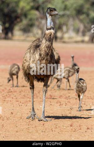 Male Emu with chicks Dromaius novaehollandiae - Stock Photo
