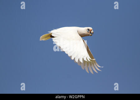 Little Corella in flight Cacatua sanguinea - Stock Photo