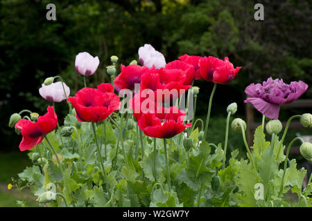 red, white and purple opium poppies, Papaver somniferum, brightly coloured flowers of this annnual poppy in a country garden, June - Stock Photo