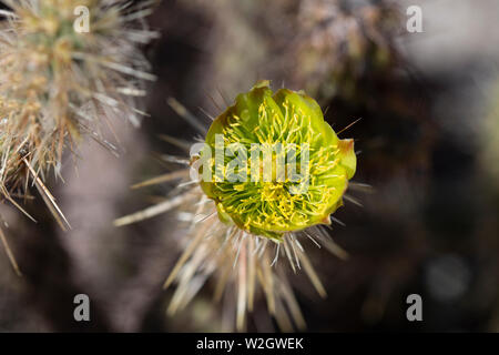 Wild Yellow Cholla flower blooming in the mojave desert