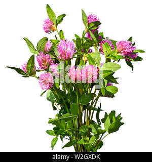 Bouquet of red clover isolated on white - Stock Photo