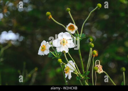 White anemone flower (Japanese anemone, thimbleweed or windflower) and unripe seedheads in Regent's Park of London - Stock Photo