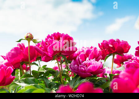 Pink peonies bush in the garden against the blue sky. Fresh flowers background. Horizontal frame - Stock Photo
