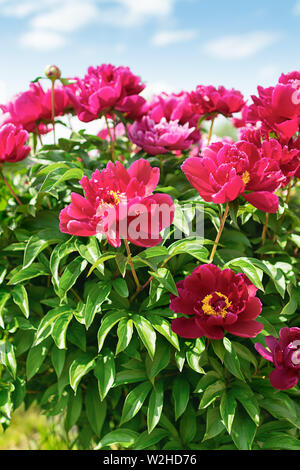 Pink peonies bush in the garden against the blue sky. Fresh flowers background. Vertical frame. - Stock Photo