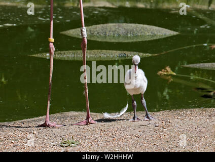 Greater Flamingo Chick (phoenicopterus roseus) - Stock Photo