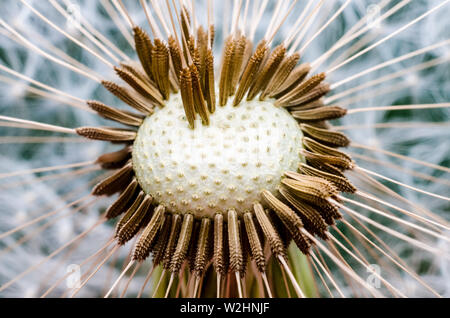 Taraxacum, Asteraceae, extreme macro close up of dandelion flower with focus on seeds in center - Stock Photo