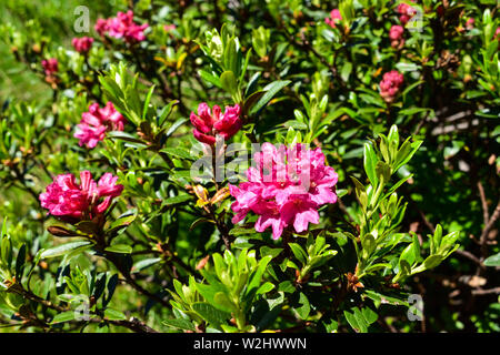 Hairy Alpine rose flower in early summer. - Stock Photo