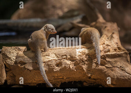 Common dwarf mongoose by water pond in Kruger National park, South Africa ; Specie Helogale parvula family of Herpestidae - Stock Photo