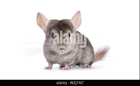 Cute grey Chinchilla, standing facing camera. Isolated on white background. - Stock Photo